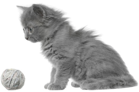 gray haired: Small gray long haired kitten sitting isolated on white background. Stock Photo