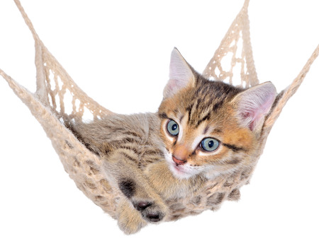 Short Hair brindle kitten lay in hammock on a white background. Stock Photo