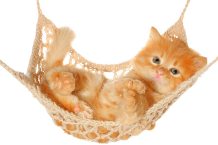 Cute red haired kitten lying in hammock on a white background. Stock Photo
