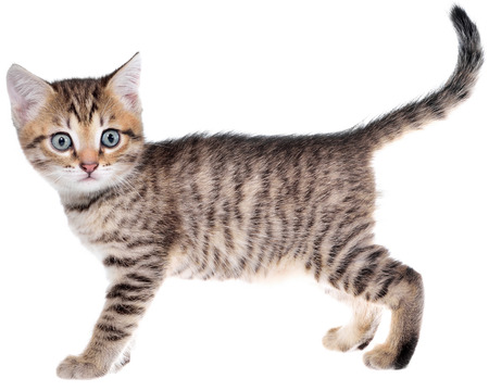 Shorthair brindled kitten crawling sneaking isolated on a white background