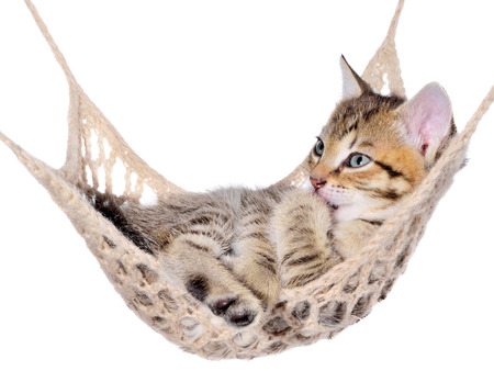 Short Hair brindle kitten sleep in hammock on a white background. Stock Photo