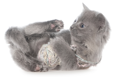 Small kitten playing with a ball of yarn on white background. Stock Photo