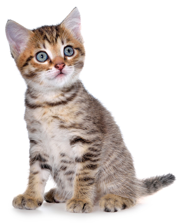 Shorthair brindled kitten isolated sitting on a white background.