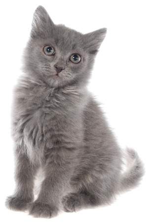 Small gray long haired kitten sitting isolated on white background. Stock Photo