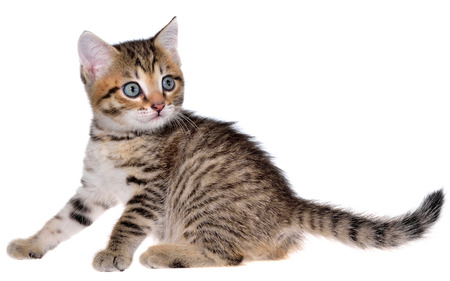 Shorthair brindled kitten playful isolated on a white background. Stock Photo