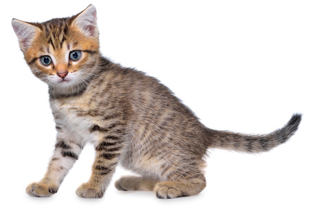 Shorthair brindled kitten goes on a white background. Stock Photo