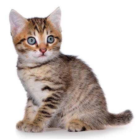 Shorthair brindled kitten on a white background. Stock Photo