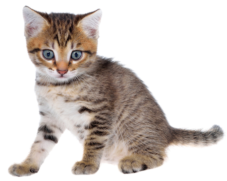 Shorthair brindled kitten isolated on a white background. Stock Photo