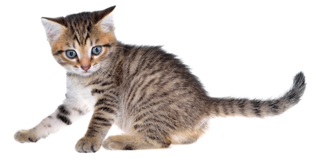 Shorthair brindled kitten crawling sneaking isolated on a white background. Stock Photo