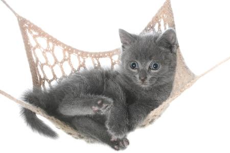 gray cat: Cute gray kitten lay in hammock on a white background. Stock Photo