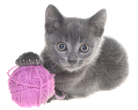Small gray shorthair kitten plays with ball of yarn isolated on white background.