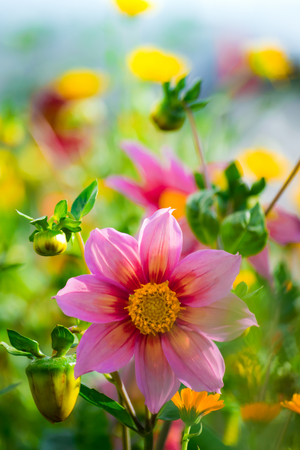 A beautiful view of the flowering dahlias in the garden with a green grass landscape.