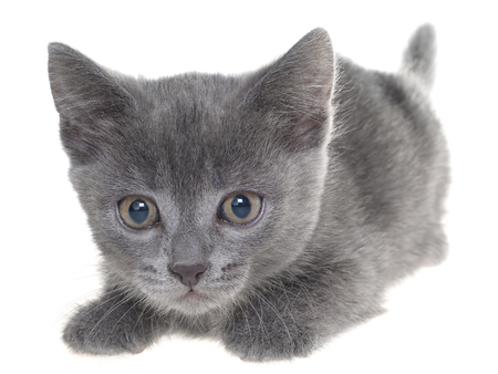 Small kitten crawling sneaking isolated on a white background Stock Photo
