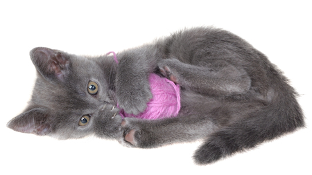 Small gray shorthair kitten lay and plays with ball of yarn isolated on white background.