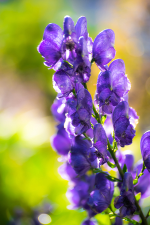 Aconite flower commonly known as aconitum, monkshood, wolf. Stock Photo