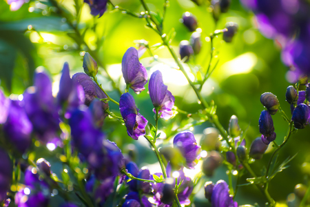 Aconite flower after rain commonly known as aconitum, monkshood, wolf.