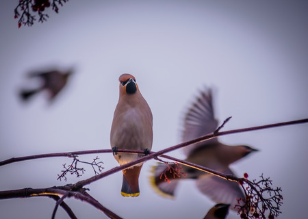 Bird waxwing in early spring in the natural habitat. Stock Photo