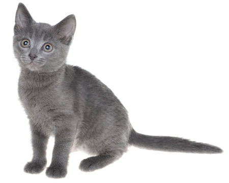 Cute gray shorthair kitten sitting isolated on white background. Imagens