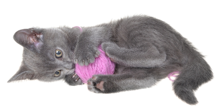 Cute gray shorthair kitten lay and plays with ball of yarn isolated on white background.