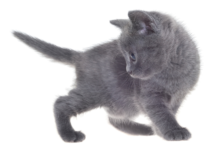 Small kitten playing isolated on a white background Stock Photo