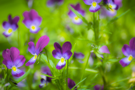 Bright flowers of violets in the garden against the backdrop of greenery. Stock Photo