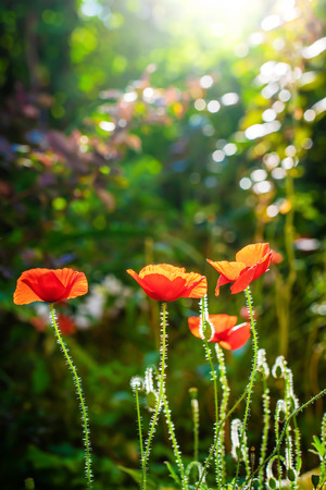 Red poppy flower against the rays of the setting sun on a summer day.