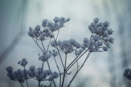 Dry plant covered with snow on a frosty winter day in the outdoor. Reklamní fotografie