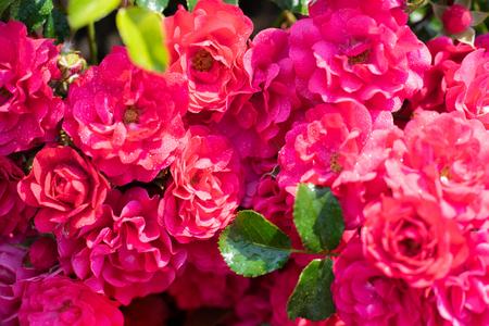 Background Rose flower close up.