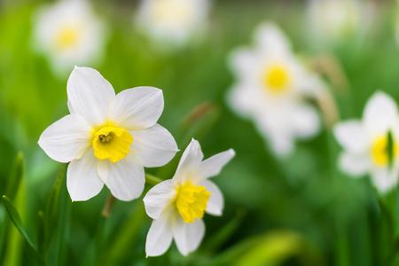 Primo piano del narciso del fiore di primavera nel giardino