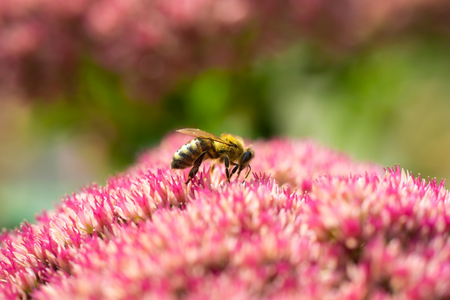 Honey bee collects nectar from a pink spirea flower close-up.