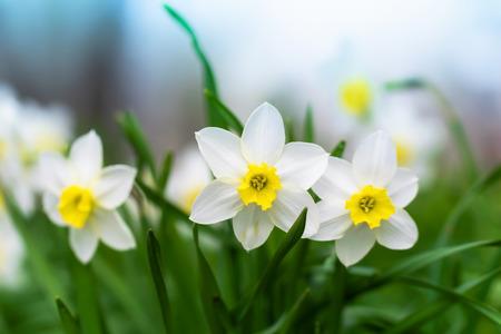 Frühlingsblumennarzissennahaufnahme im Garten