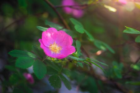 Blooming pink eglantine spring day close-up on a blurred background.