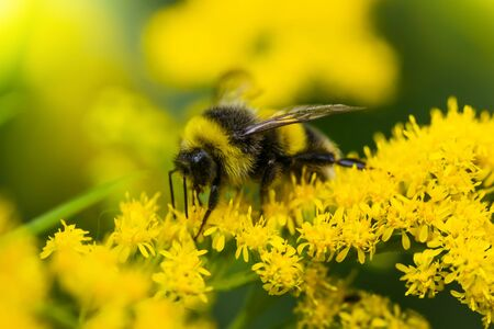 abejorro recolecta el néctar de la flor de la vara de oro en un día soleado de verano.