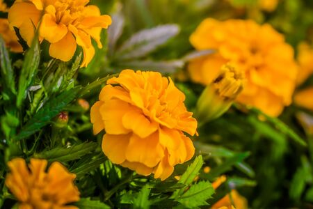Close-up flowers of a marigold on a sunny day outdoors.