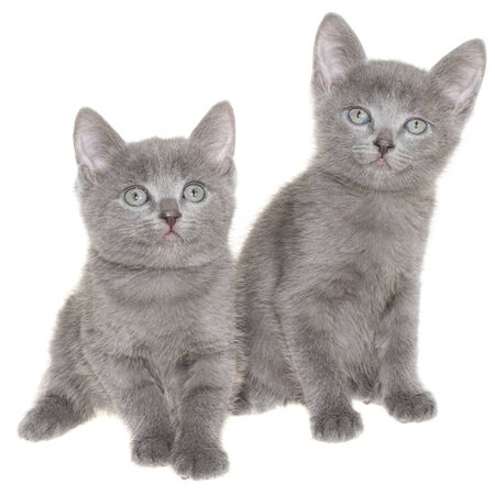 Two small gray shorthair kitten sitting isolated on white background.
