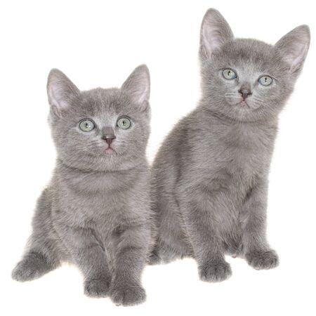 Zwei kleine graue Kurzhaarkätzchen sitzen auf weißem Hintergrund.
