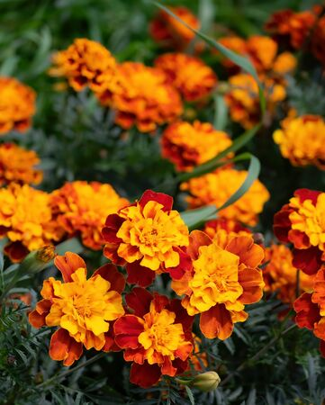 Close-up flowers of a marigold on a sunny day outdoors. Stock Photo