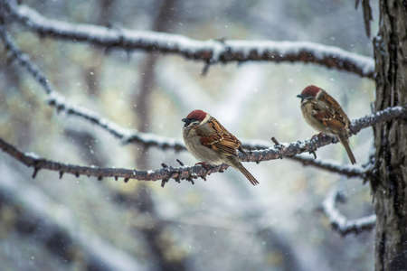 sparrow on a winter day sitting on a tree branch.
