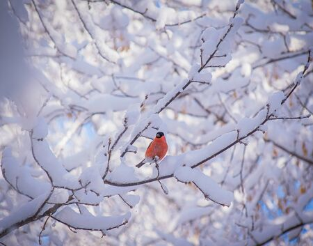 reddish chest bullfinch on a snow winter day sitting on a tree branch. Stock Photo