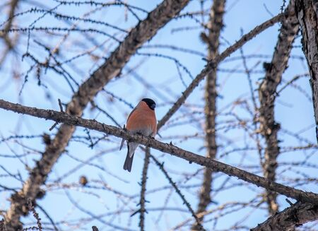 reddish chest bullfinch on a winter day sitting on a tree branch.