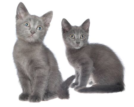 Two small gray shorthair kitten sitting isolated on white background. 免版税图像