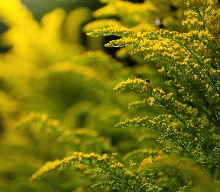 Flowering goldenrod - a medicinal, ornamental and honey plant.