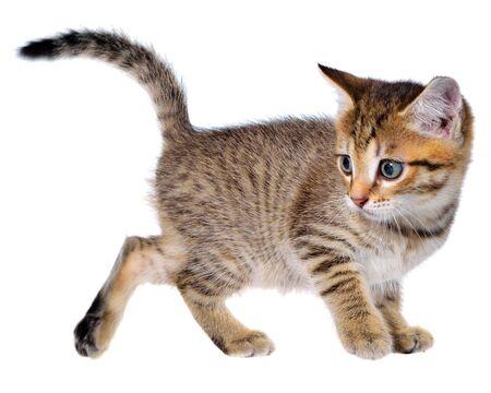 Shorthair brindled kitten goes isolated. Imagens