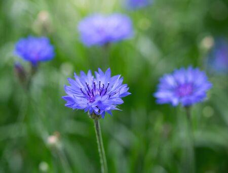 Blue cornflower flower close up on a green blurred background.