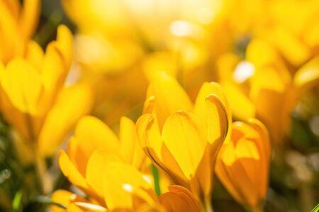 Fresh flowers of yellow crocus in spring in the garden.