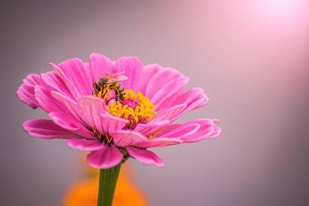 Beautiful pink flower zinnia in the garden on a blur background Фото со стока