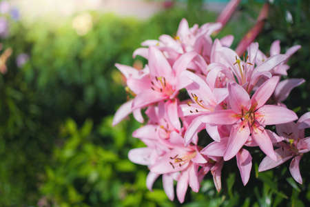 Beautiful flowers of pink lily in the garden on a summer day. Reklamní fotografie