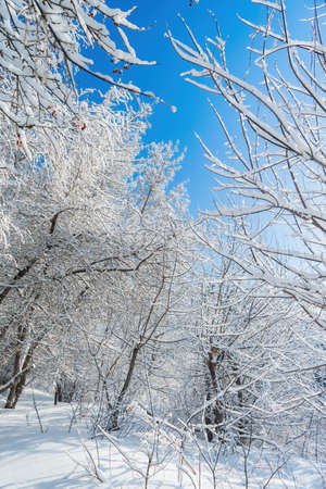 Snow-covered branches of trees on a frosty winter day in park.