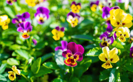 Bright flowers of violets in the garden against the backdrop of greenery. Reklamní fotografie