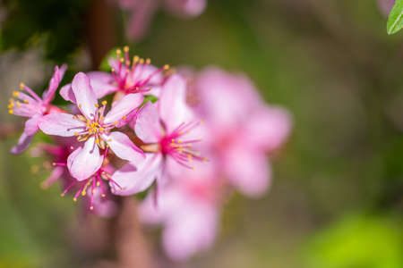 Spring flowering pink almond closeup.